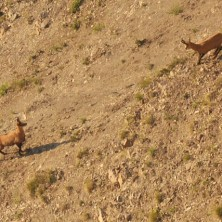 Chamois in the Hautes-Alpes